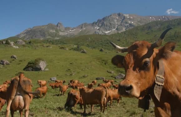 Vaches Tarines dans les alpages du Beaufortain (73)