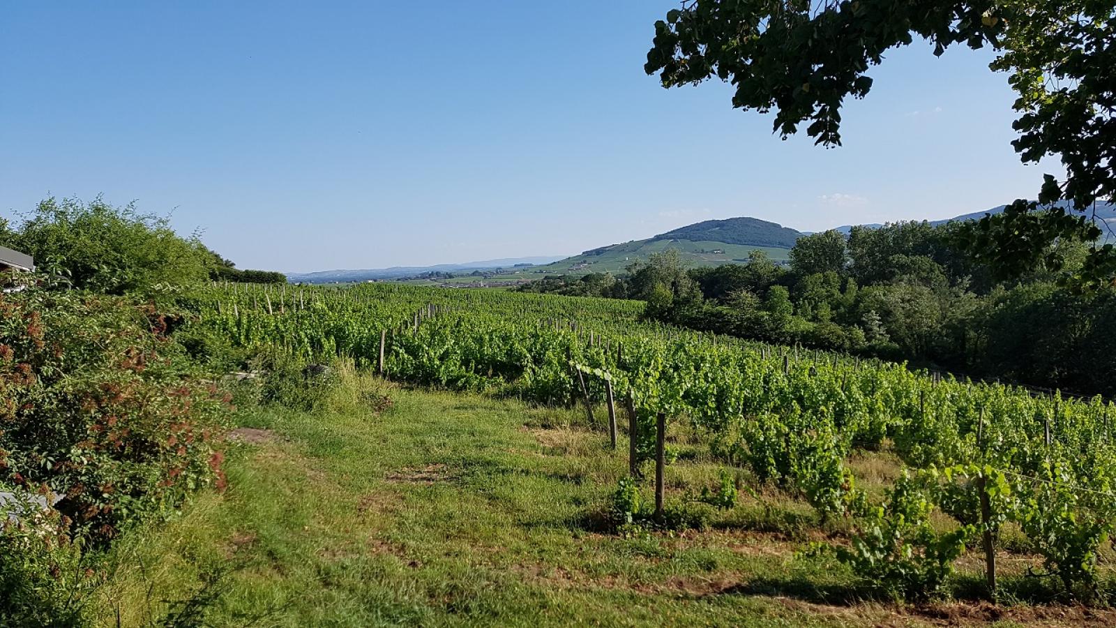 Chambres d'Hôtes 'Domaine aux 4 Temps' à Villié-Morgon (Rhône-Beaujolais) : en plein coeur des vignes.