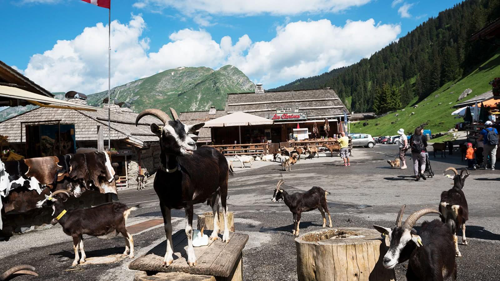 Les Lindarets, village des chèvres