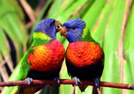 Couple de loriquets